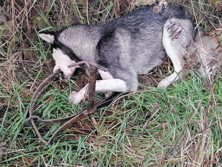Vadászok lőhették ki az általuk kirakott hattyúnyak csapdába esett kutyákat