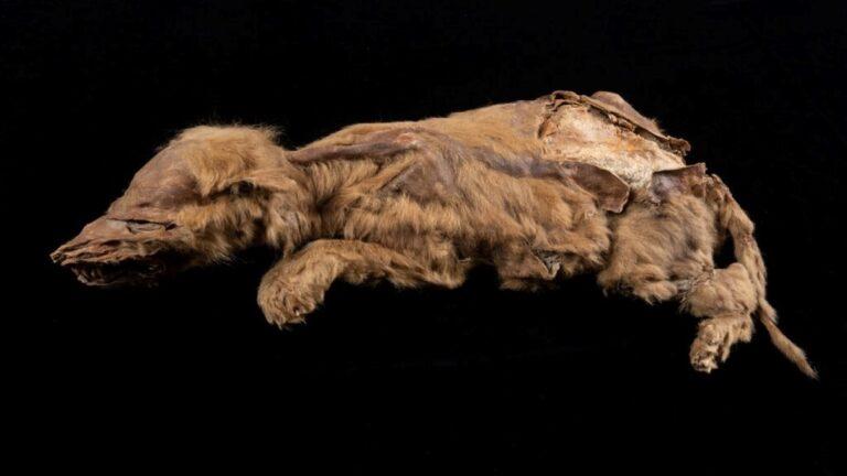 Jégkorszaki farkaskölyök múmiájára bukkantak