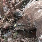 Szabálytalanul kihelyezett csapda fogott védett madarat