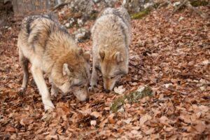 Farkas és medve is jár már az erdőkben Magyarországon