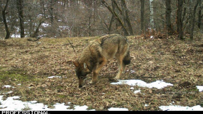Mutatjuk is, hogy üvölt egy farkas a Bükkben + Videóval