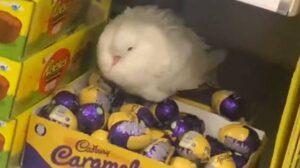 Ennél a galambnál túltengett az anyai ösztön és csokitojásokat őrzött (Videó)