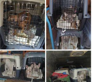 Harmincnégy fuldokló kiskutyát találtak a németek egy magyar furgonban