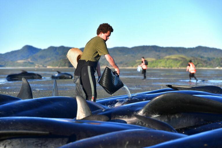 Partra vetett delfinek megmentésén ügyködnek Új-Zélandon