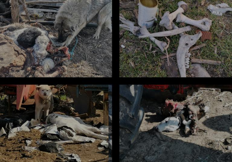Horrortanyát számoltunk fel Pest megyében – döghúson tartották a kutyákat!