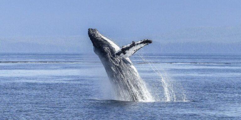 Az eddig véltnél jóval veszélyesebbek a bálnákra a halászhálók