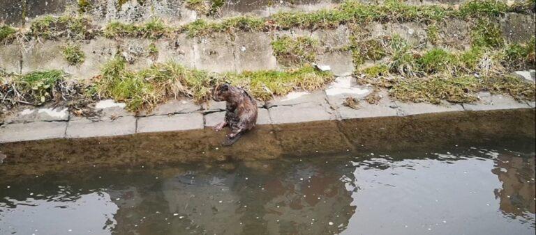 Ez egy hód! – Újabb videó a Rákos-patak új lakójáról
