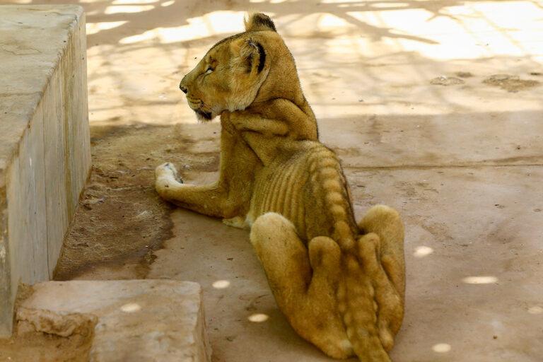 Sokkoló képeken mutatjuk az éheztetett, beteg oroszlánokat egy szudáni vadasparkból