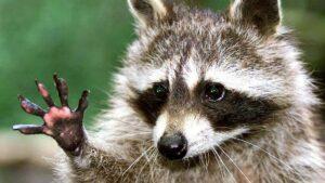 Cicákért mentek, mosómedvét találtak az állatmentők egy soproni ház padlásán