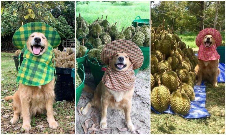Rajong a munkájáért a duriánszüretelő kutya