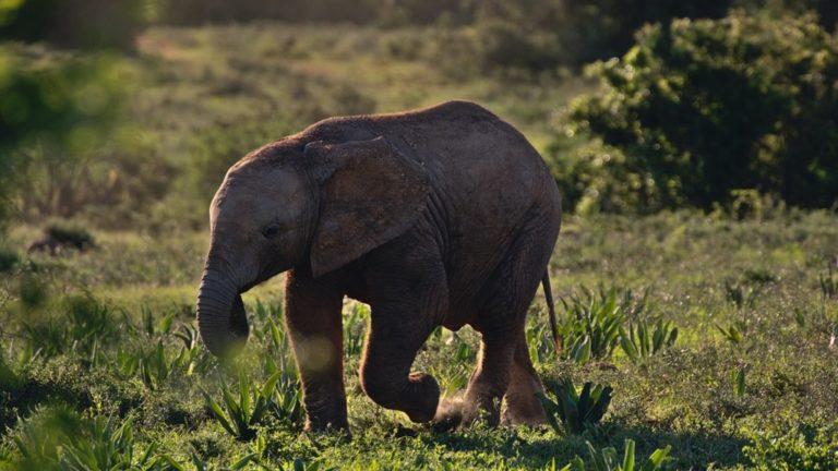 Kihalás szélére került az erdei elefánt