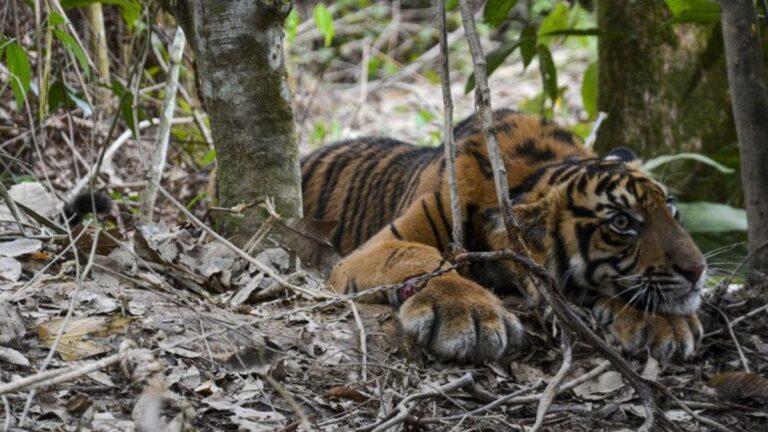 Visszatérhetett természetes élőhelyére egy befogott szumátrai tigris (Videó)