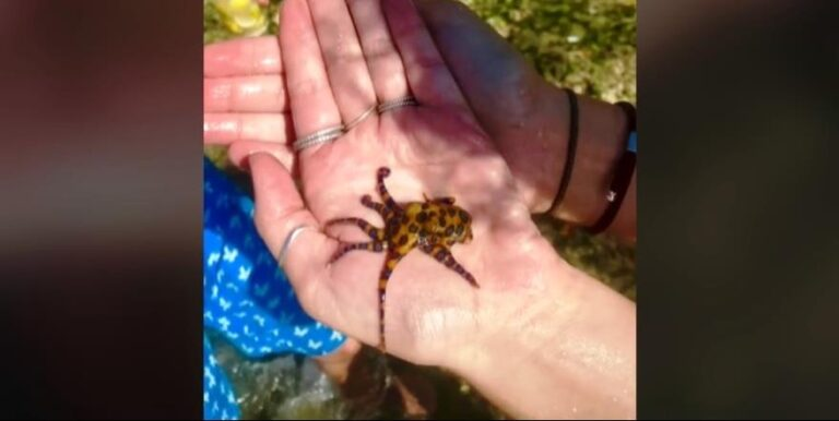 Azt hitte, hogy egy cuki polip, pedig az egyik legveszélyesebb állatot tartotta a markában – VIDEÓVAL