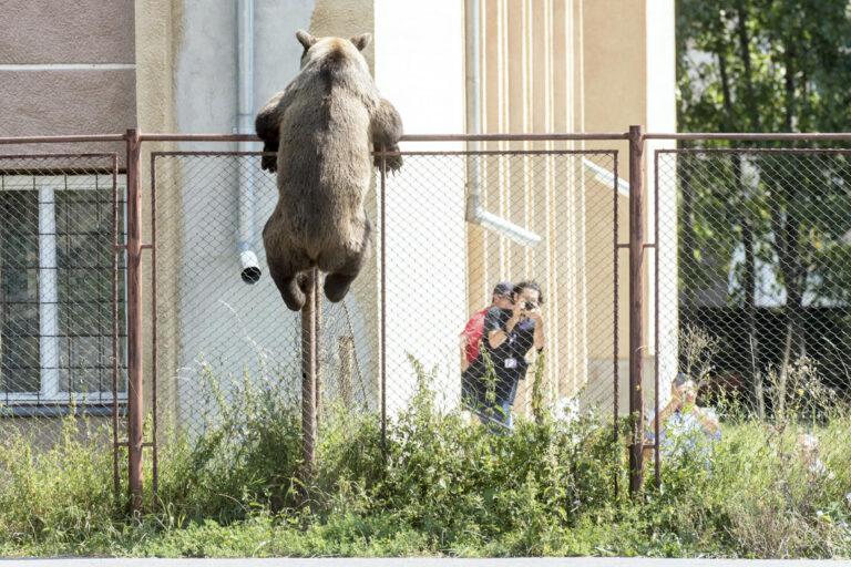 A román kormány azért morog, mert senki sem kér medvét tőlük