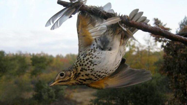 Az uniós bíróság betiltotta a madárléppel történő vadászatot Franciaországban