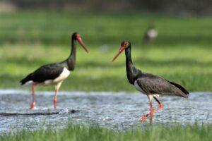 Jön a tavasz: megérkezett az első fekete gólya a gemenci erdőbe (Videó)