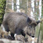 Itt van a vaddisznók ellési időszaka – az orvvadászok meg lövik őket