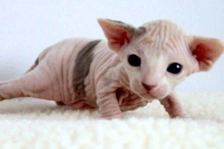 Macskákat borotvál kopaszra egy ismeretlen besurranó