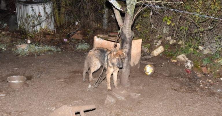 Börtönbe kerül: éheztette és sosem engedte el a kutyáját a láncról