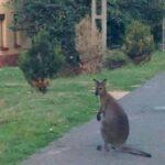 Szökött kengurut üldöztek Orosházán