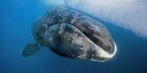 Sarkvidéki jég olvadása miatt nem indult éves vádorútjára a grönlandi bálna