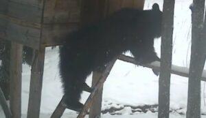 Létrán egyensúlyoz, az ajtóval is jól boldogul ez a kukoricát lopó medve (Videó)