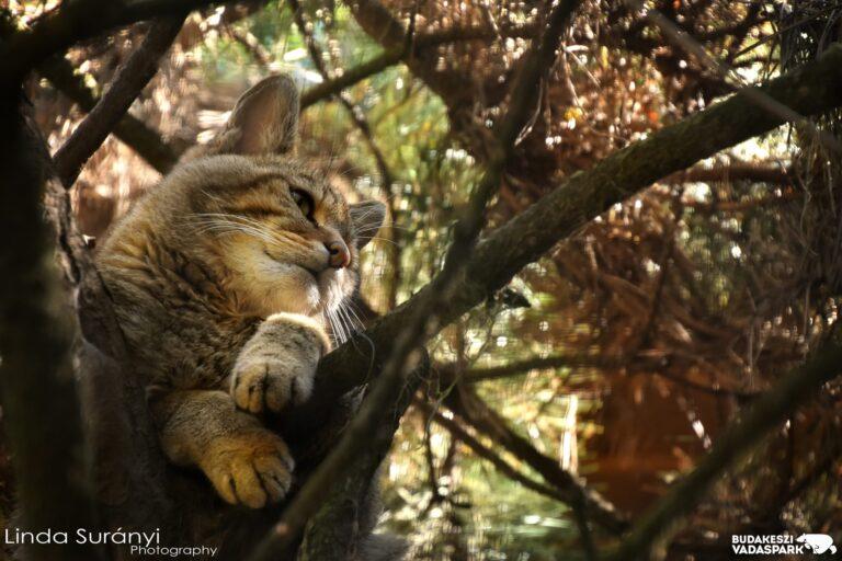 Veszélyeztetett ragadozófaj megmentésére indított programot a Budakeszi Vadaspark