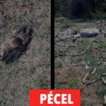 Nyugodtan szórja szét a vadtetemeket – Pécelen ez is belefér