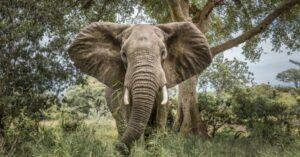 Elefántcsordába futottak a menekülő orvvadászok, az egyiküket halálra taposták