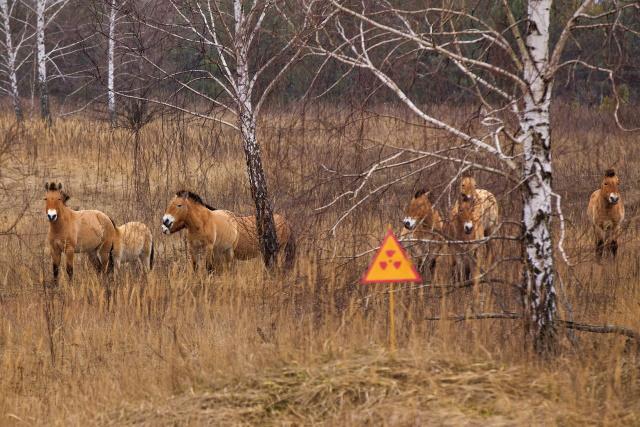 Különleges állatok lepték el Csernobil környékét: birtokba vették a lezárt zónát
