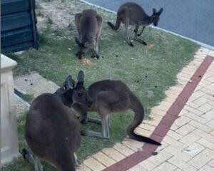Napi cuki: Így várják a kenguruk a lepattanó ételt a kis kertvárosban