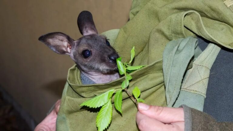 Mesterséges erszényben nevelkedik Prücsök, a szegedi kengurukölyök