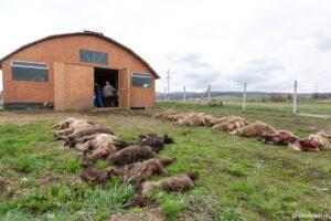 Több mint negyven jószágot pusztítottak el a medvék egy éjszaka alatt Farkaslaka községben