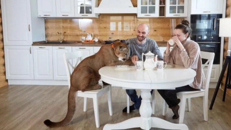 Felnőtt pumával osztja meg otthonát az orosz család + VIDEÓVAL