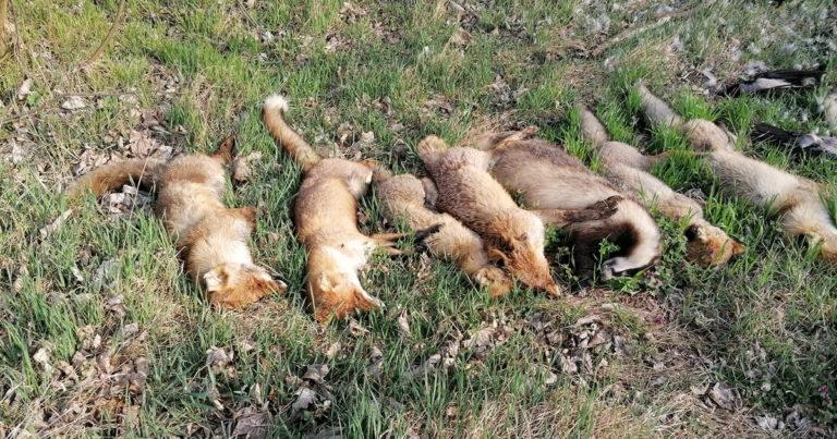 Tucatnyi megcsonkított rókatetemet találtak Soroksáron