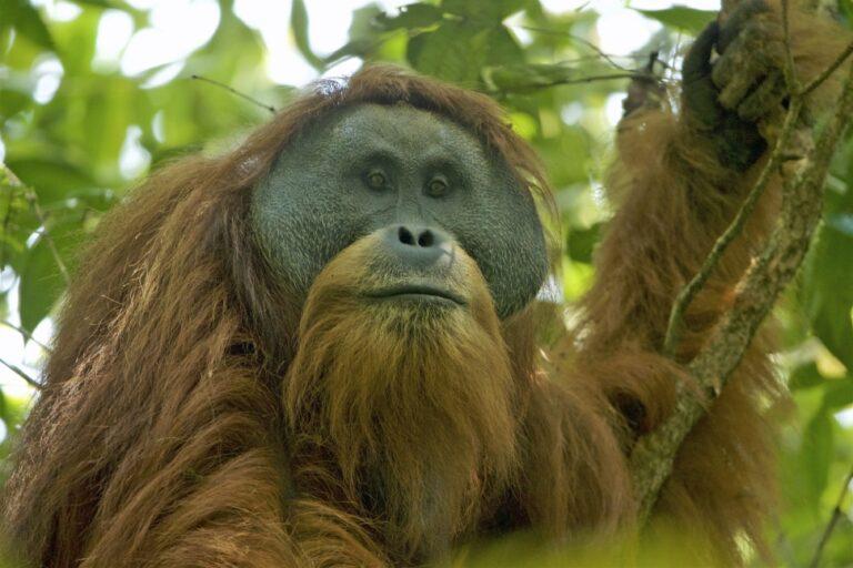 A kihalás fenyegeti a világ legritkább és legveszélyeztetettebb majomfaját