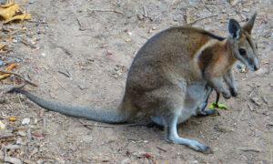 Újabb állatfajt hoztak vissza a kihalás széléről