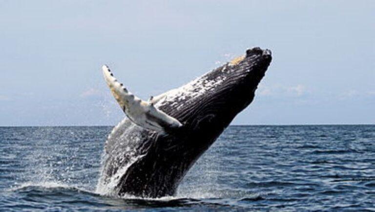 Elszaporodtak a hosszúszárnyú bálnák Ausztráliában – gyönyörű videóval