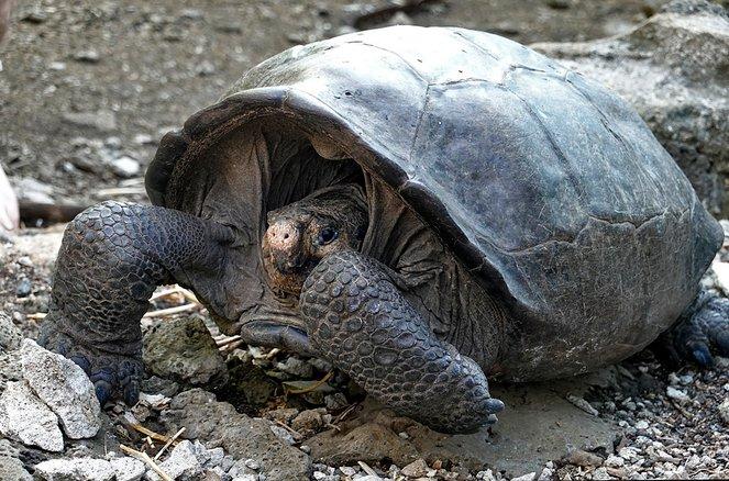 Több mint 100 éve kihaltnak hitt óriásteknőst találtak a Galápagos-szigeten