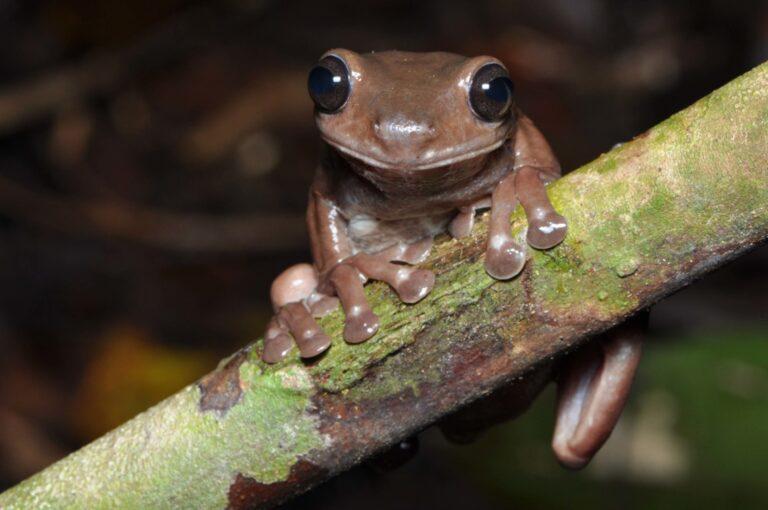 """""""Csokibékafajt"""" fedeztek fel Új-Guineán"""