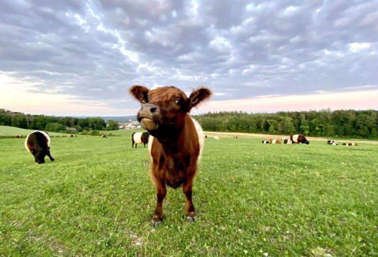 Egyáltalán nem vicces a tehénriogatós kihívás