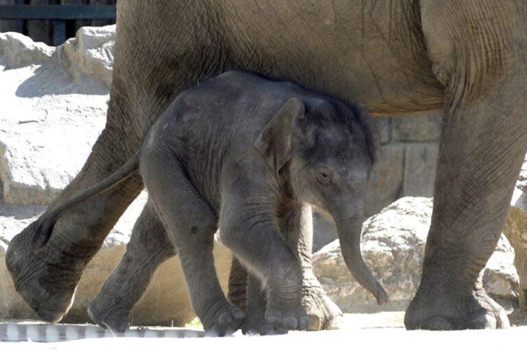 Samunak nevezik el a fővárosi állatkert kiselefántját