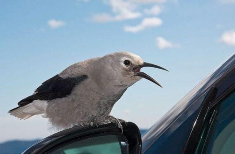Rosszabbul tanulnak énekelni az autózajos utcák mentén élő madárfiókák