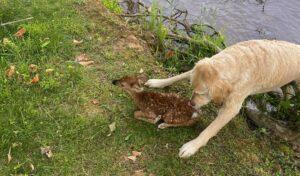 Kimentette a vízben fuldokló őzgidát a kutya – VIDEÓVAL és KÉPEKKEL
