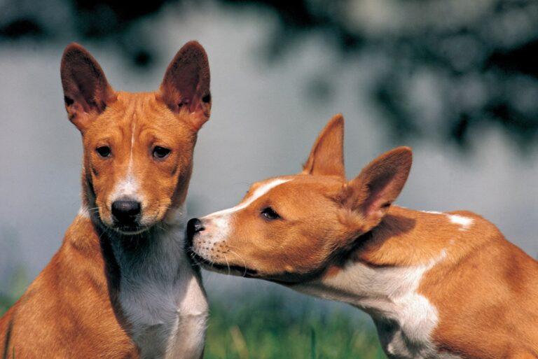 Ősi kutyafajta genetikai térképe segíthet megérteni a kutyák evolúcióját