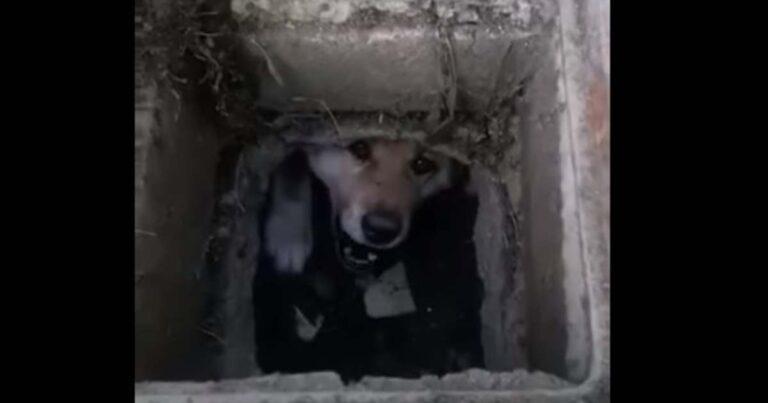 Csatornában rekedt kutyát mentettek Békéscsabán – Videóval