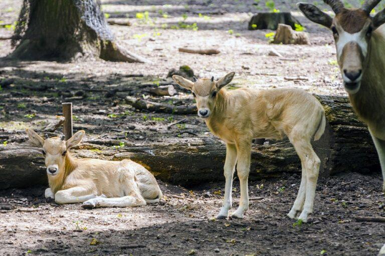 Mendeszantilopok születtek a Szegedi Vadasparkban