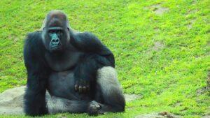 Szívszorító, ahogy ez a gorillamama reagált egy babára az állatkertben (Videó)