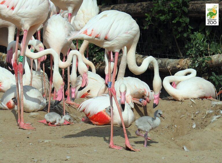 Húsz flamingófiókával gyarapodott a Budapesti Állatkert kolóniája