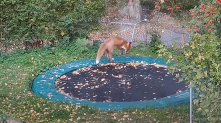 Így ugrándozik a kerti trambulinon egy róka – VIDEÓVAL